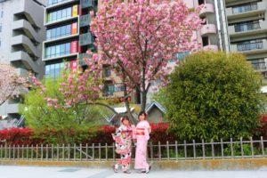 兩位中國顧客穿著和服與櫻花合照